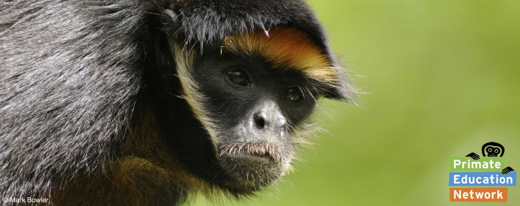 White-fronted-spider-monkey © Mark Bowler